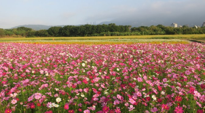 Sea of Flowers @ Taipei Guandu Plain! 🌺